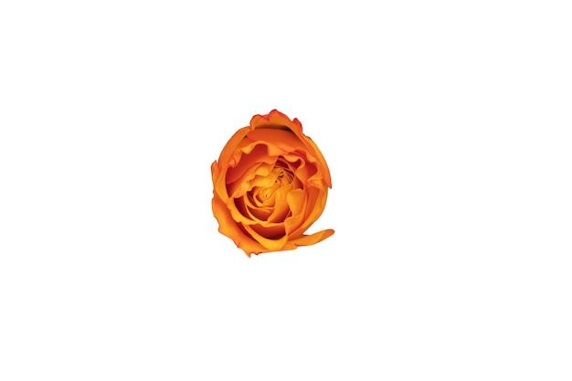 Botão de rosa laranja isolado no fundo branco. bela flor para o projeto. vista de cima. foto de alta qualidade