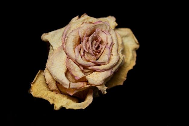 Botão de rosa seco em um fundo preto. morte e tempo. fechar-se.