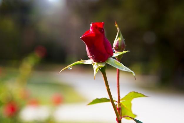 Botão de rosa vermelha no jardim depois da chuva. jovem botão de uma rosa vermelha em uma haste. cuidar de arbustos de rosas de jardim. florescendo o jardim de rosas e botões. espaço para texto