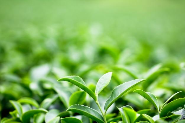 Botão do chá verde e folhas frescas. plantações de chá.