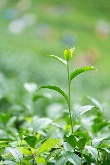 Botão e folhas de chá verde. plantações de chá.