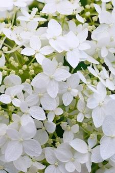 Botão em flor da flor hydrangea paniculata no jardim de verão