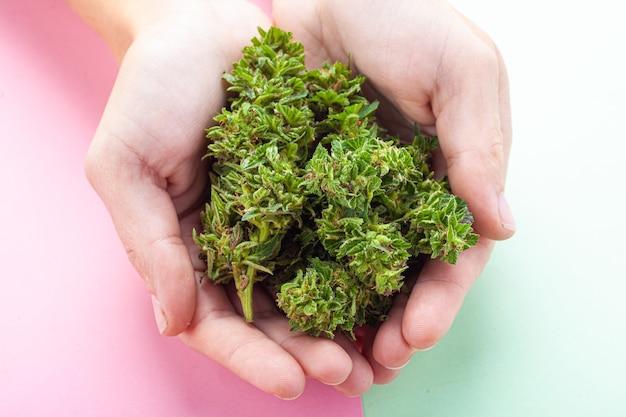 Botões de cannabis medicinal em mãos femininas