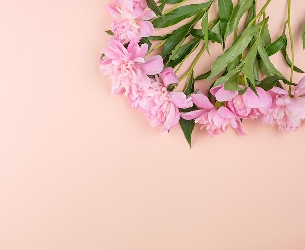 Botões de peônia rosa florescendo em um fundo de pêssego