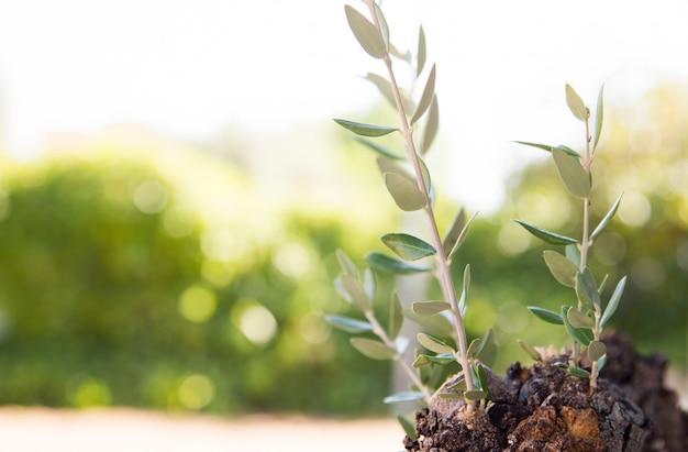 Botões de ramos de oliveira no seu detalhe de tronco com fundo claro do sol