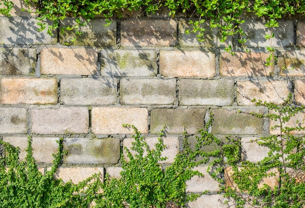 Botões de revestimento ou planta de margarida mexicana em parede de tijolo