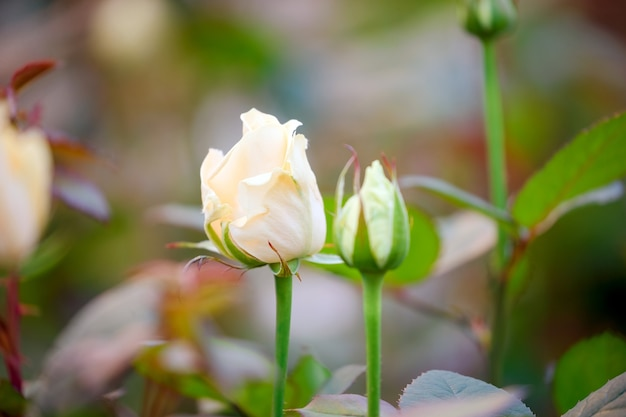 Botões de rosa branca perto de um arbusto no jardim, o fundo está desfocado