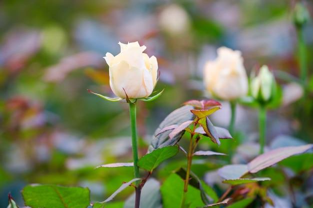Botões de rosa fecham-se em um arbusto no jardim, o fundo está desfocado