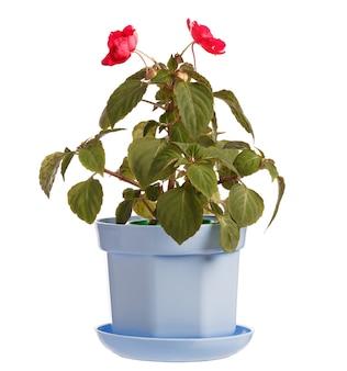 Botões de uma flor desabrochando balsaminaceae em um vaso isolado no fundo branco