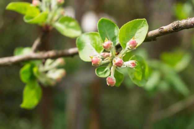 Botões e folhas em galho de macieira