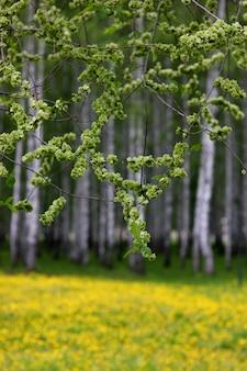 Botões em flor de árvores em maio em um fundo desfocado