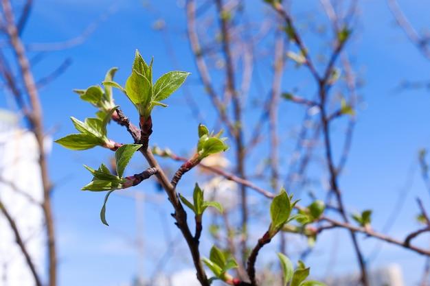 Botões florescem em um galho de árvore. a primeira primavera sai.