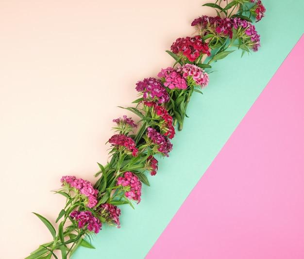 Botões florescendo cravos turcos dianthus barbatus