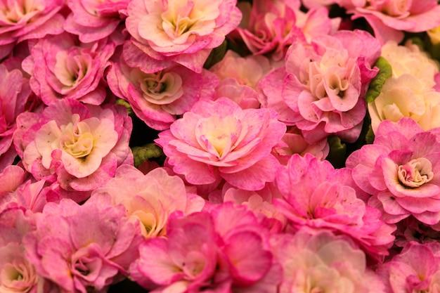 Botões rosa de flor de prímula