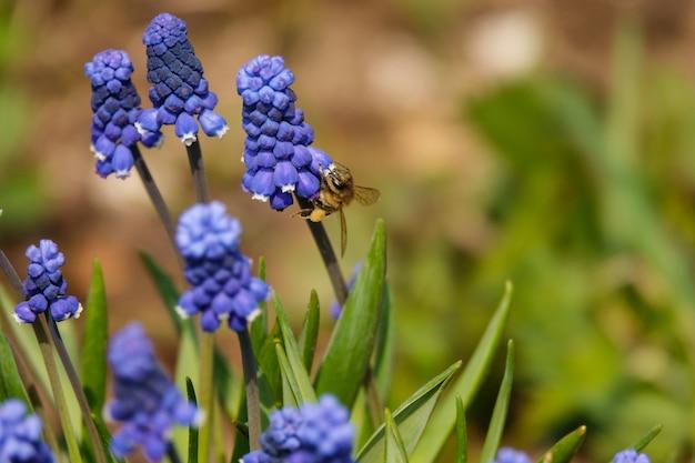 Botryoides comum do muscari do jacinto de uva na flor completa.