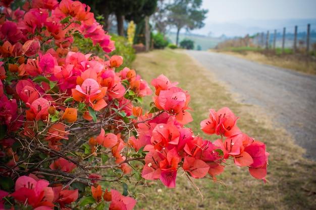 Bougainvillaea flowers