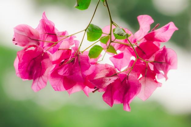 Bougainvillea classificada como uma flor ornamental popular de acordo com a casa ou lugares porque é uma madeira que dá muitas belas flores de cor