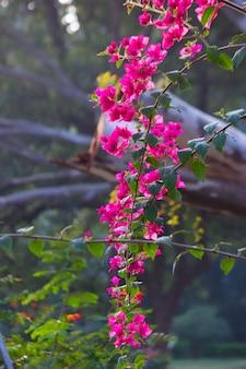 Bougainvillea é um gênero de arbustos de videiras ornamentais espinhosas e árvores da família nyctaginaceae