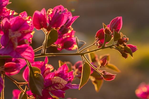 Bougainvillea vermelho deixa luz de fundo