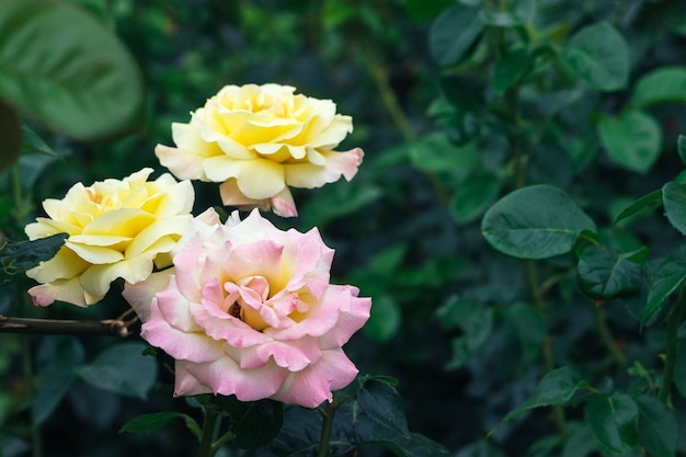 Bouquet de três lindas e delicadas flores rosas cor de rosa e amarelas contra um fundo desfocado de folhas verdes escuras no jardim com espaço de cópia
