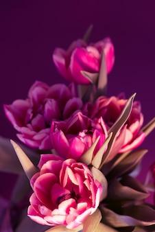 Bouquet de tulipas rosa lindas frescas sobre fundo roxo.