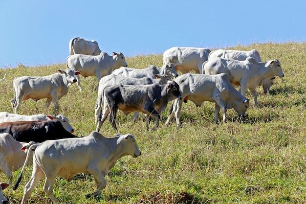 Bovinos em pastagem, estado de são paulo, brasil