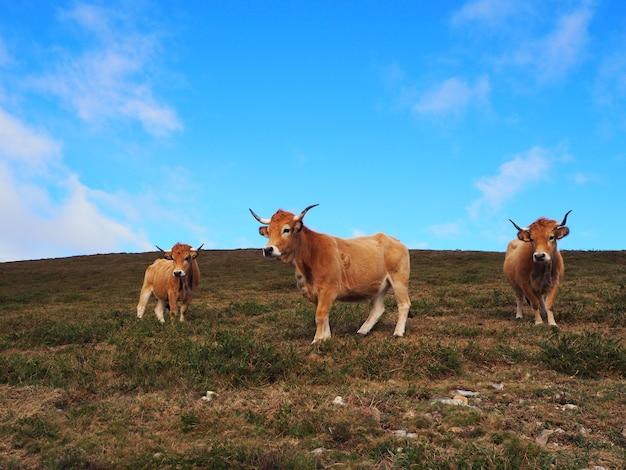 Bovinos, três vacas pastando
