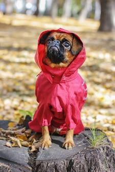 Brabanson pequeno do cão com a cor castanha que desgasta no macacão vermelho