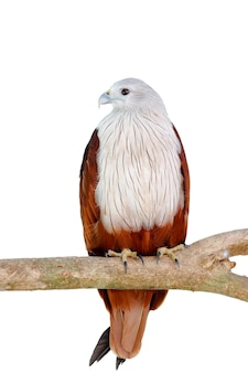 Brahminy, papagaio, vermelho, suportado, águia mar, haliastur, indus, bonito, pássaros, de, tailandia
