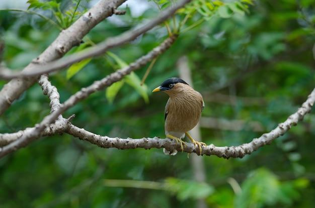 Brahminy starling na árvore na natureza