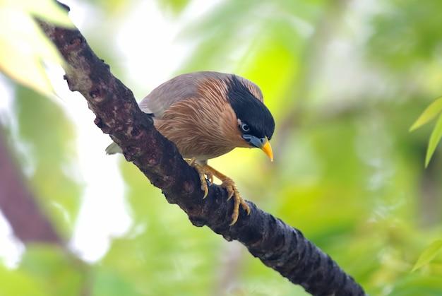 Brahminy starling sturnus pagodarum belas aves da tailândia empoleirar-se na árvore