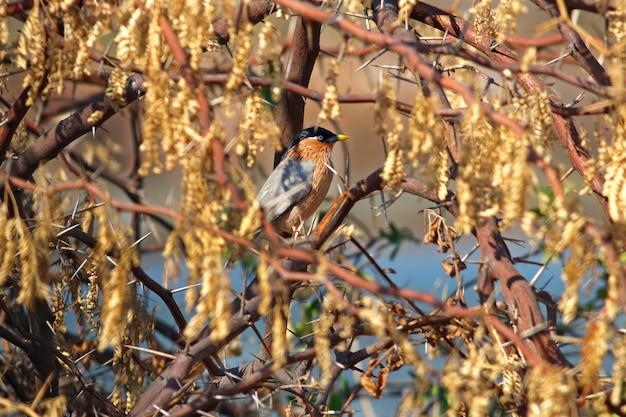 Brahminy starling sturnus pagodarum belas aves da tailândia