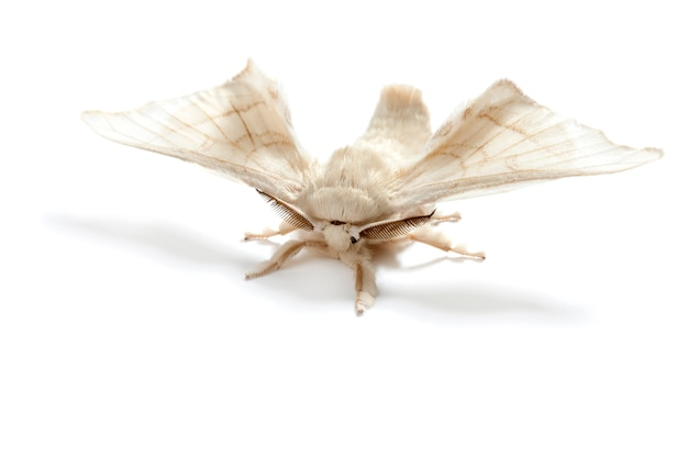 Branco da borboleta do sem-fim de seda do bicho-da-seda isolado