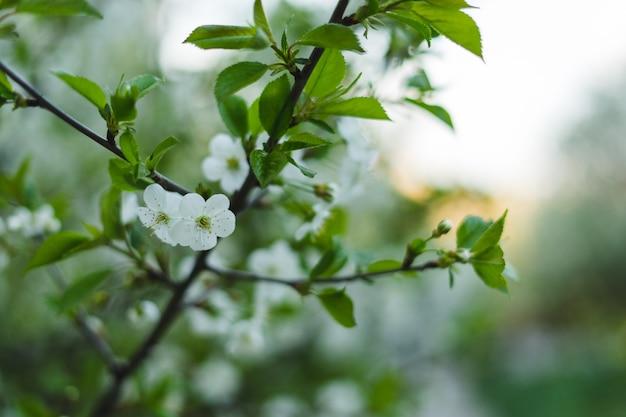 Branco é linda flor de cerejeira.