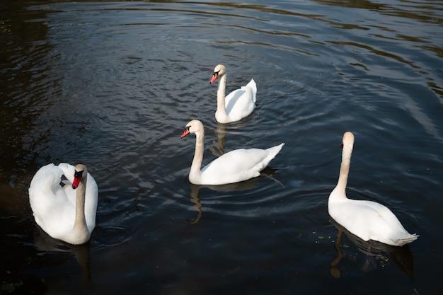Branco lindo serrado na água do lago azul escuro close-up fauna do lago fundo branco pássaro