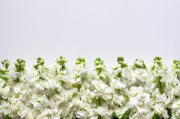 Branco matthiola incana flores