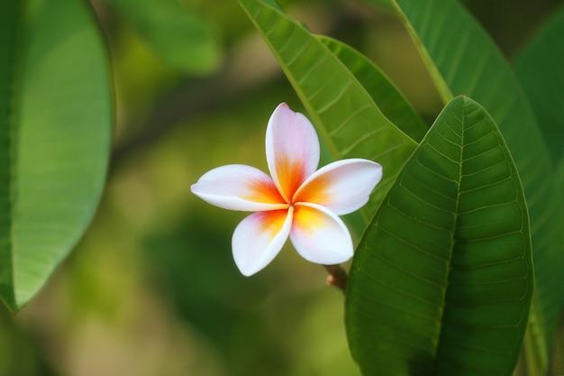 Branco mix amarelo de flores de plumeria que florescem no quintal