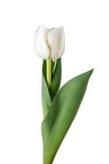 Branco. perto da bela tulipa fresca isolada no fundo branco.