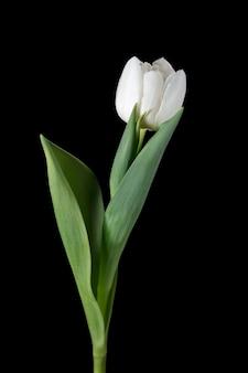 Branco. perto da bela tulipa fresca isolada no fundo preto.