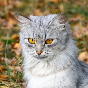 Bravo gato cinzento com olhos laranja no contexto da folhagem de outono