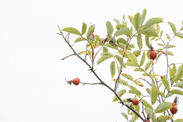 Briar rose rosehip (em alemão hagebutte) rosa canina. sweet briar. rosas maduras frescas, bagas de briar crus ou frutos de rosa canina com sementes, conceito de comida saudável.