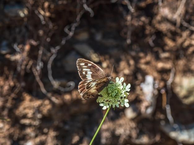 Bright imago chazara briseis, o eremita, é uma espécie de borboleta pertencente à família nymphalidae.