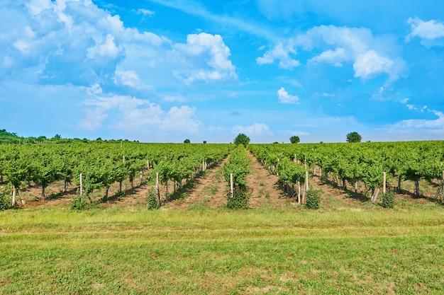 Bright sunny day vineyard sobre a colina com um lindo céu azul com nuvens