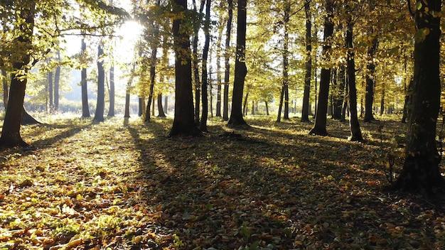 Brilho do sol na floresta colorida de outono. caminhada lenta na floresta pela manhã. brilho dos raios de sol nas lentes da câmera.