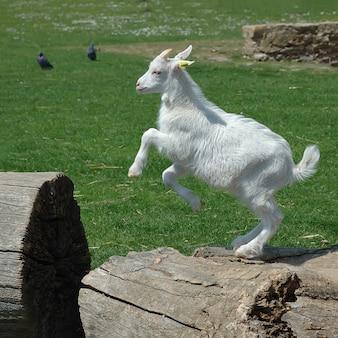 Brincalhão branco bebê cabra pulando
