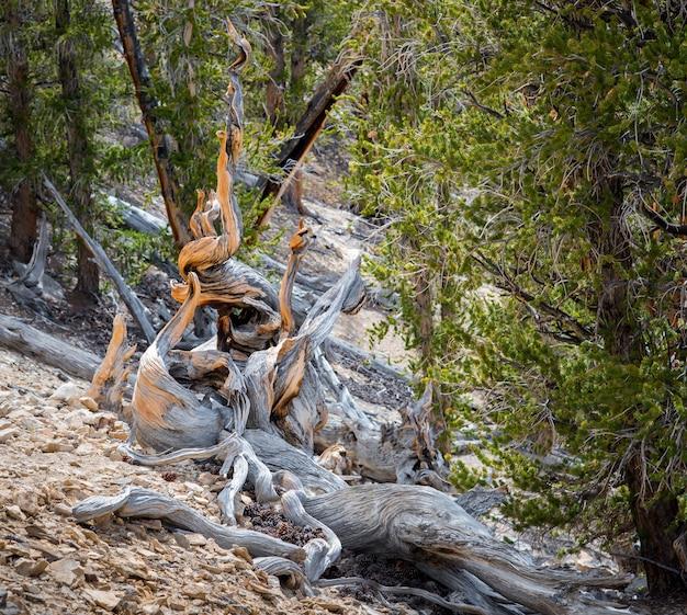 Bristlecone pinheiro a árvore mais antiga do mundo em dia de sol