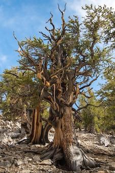 Bristlecone pinheiro a árvore mais antiga do mundo