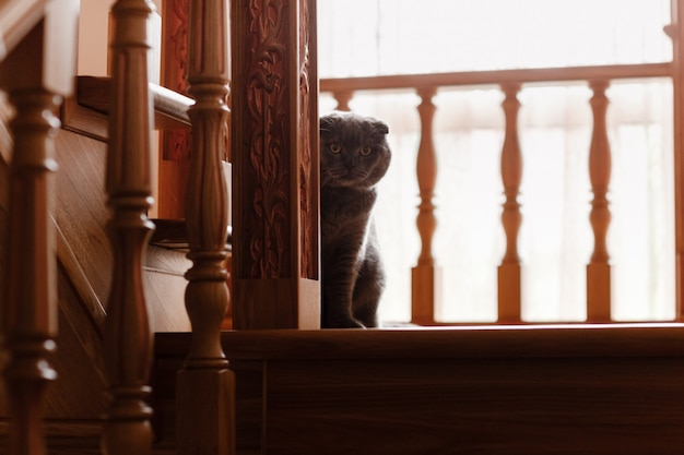 Britânico cinzento da raça do gato. pequeno gato britânico. pets