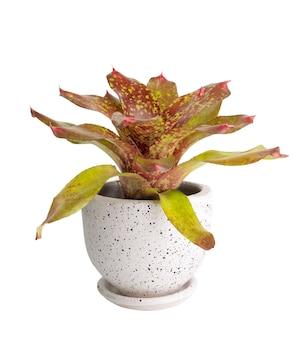 Bromeliad neoregeria charm em um recipiente branco moderno isolado no fundo branco