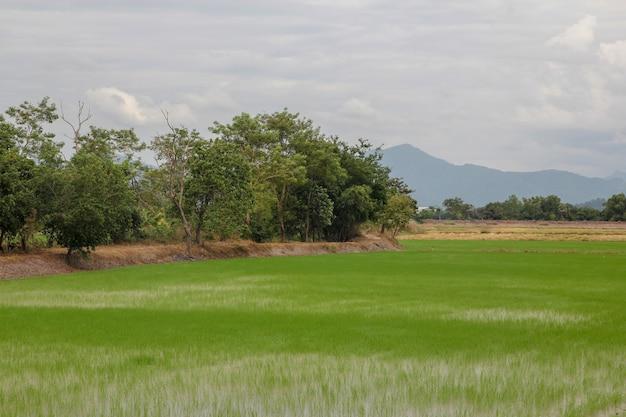 Brotar a fazenda de plantas de arroz na tailândia antes do pôr do sol